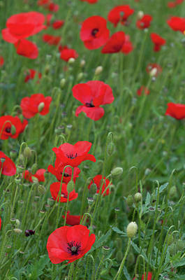 Modern Man Surf - Red poppie anemone field by Michalakis Ppalis