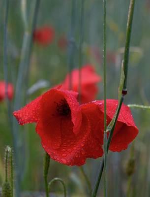 Photograph -  Red Poppies 1 by Jouko Lehto