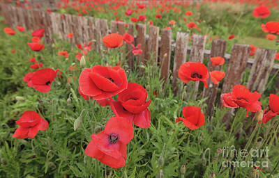 Photograph - Red Poppies by Cathy Alba