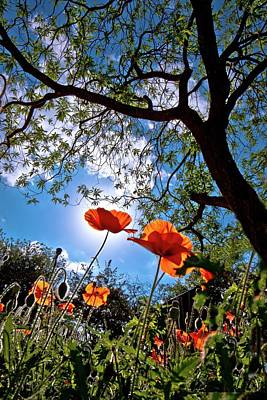 Photograph - Red Poppies In Bloom by Linda Unger