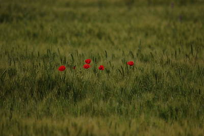 Red Poppies In Meadow Art Print