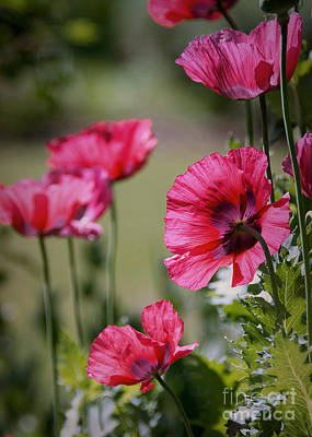 Photograph - Red Poppies by Lisa L Silva