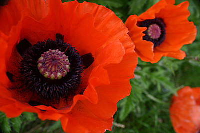 Photograph - Red Poppies by Lynne Guimond Sabean