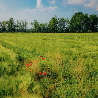 Red Poppies On A Green Wheat Field Art Print