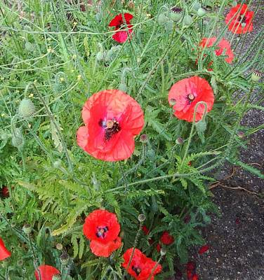 Photograph - Red Poppies Photo 1167 by Julia Woodman
