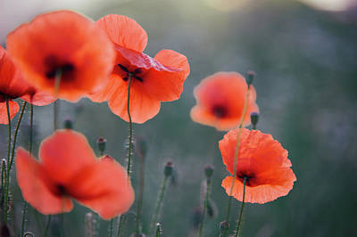 Photograph - Red Poppies Remembrance 1 by Jenny Rainbow