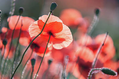 Photograph - Red Poppies Remembrance 2 by Jenny Rainbow