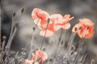 Photograph - Red Poppies Remembrance 3 by Jenny Rainbow