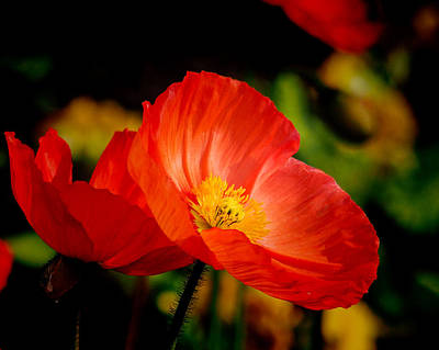 Photograph - Red Poppies by Robin Zygelman