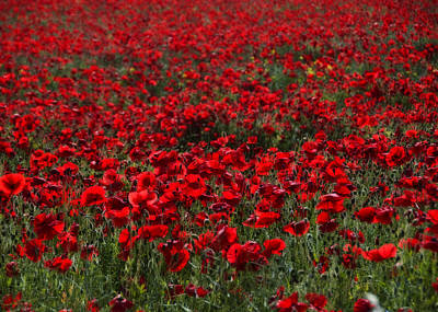Mans Best Friend - Red Poppies by Svetlana Sewell