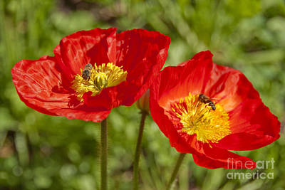 Photograph - Red Poppies Yellow Center by David Zanzinger
