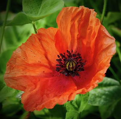 Photograph - Red Poppy 2 by Jouko Lehto
