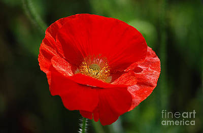 Photograph - Red Poppy 20130528_250 by Tina Hopkins