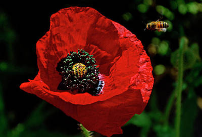 Photograph - Red Poppy And A Bee 020 by George Bostian