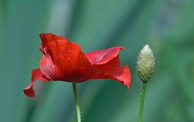 Photograph - Red Poppy And Pod by Barbara St Jean