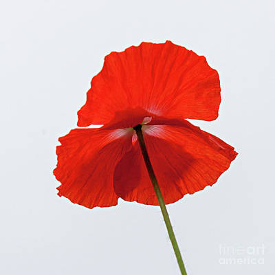 Photograph - Red Poppy by Casper Cammeraat