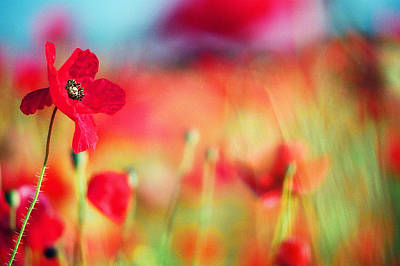 Photograph - Red Poppy by Chris Deeney