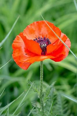 Photograph - Red Poppy by Deb Buchanan