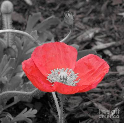 Photograph - Red Poppy Flower by Chad and Stacey Hall
