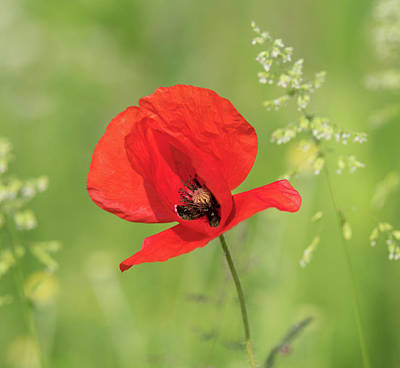Photograph - Red Poppy Flower by Hans Engbers