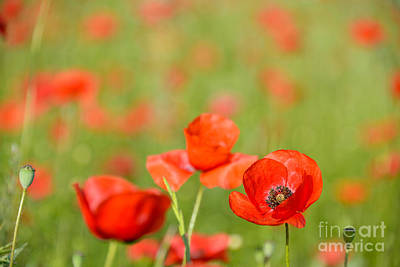 Photograph - Red Poppy In A Field Of Poppies by IPics Photography