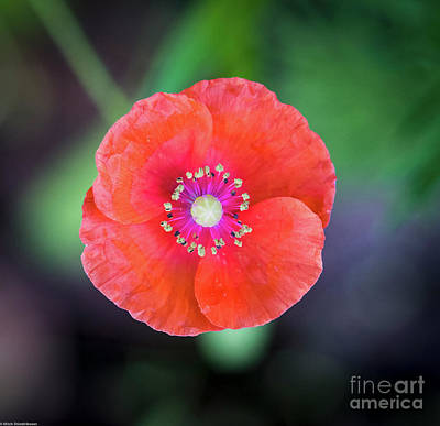 Photograph - Red Poppy by Mitch Shindelbower