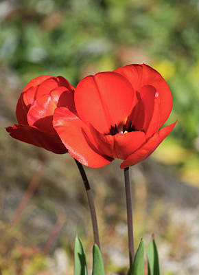 Photograph - Red Poppy  by Naomi Burgess