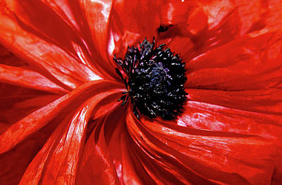 Photograph - Red Poppy by Paul Drewry