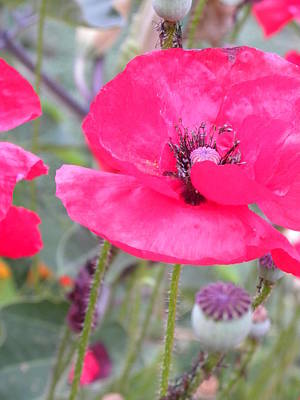 Photograph - Red Poppy by Peggy McDonald