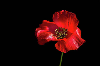 Photograph - Red Poppy by Penny Meyers