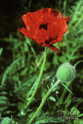 Photograph - Red Poppy by Phil Banks