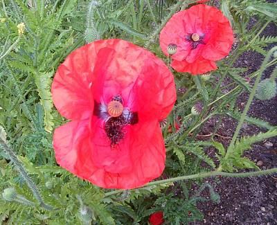 Photograph - Red Poppy Photo 1169 by Julia Woodman