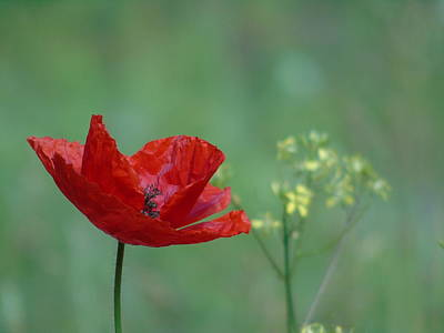 Photograph - Red Poppy Touch Of Yellow by Barbara St Jean