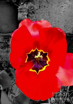 Photograph - Red Poppy Tulip Colour Splash 2 by Joan-Violet Stretch
