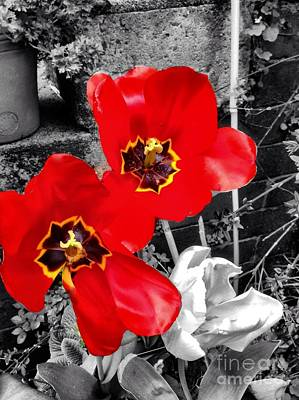 Photograph - Red Poppy Tulips Colour Splash by Joan-Violet Stretch