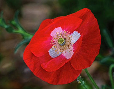State Love Nancy Ingersoll - Red Poppy with White Cross by David Werner