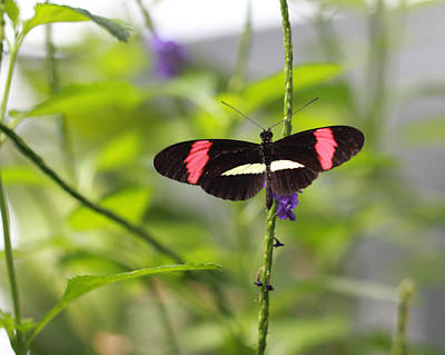 Photograph - Red Postman Butterfly And Purple Flower by Angela Murdock