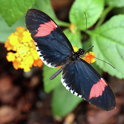 Photograph - Red Postman Butterfly Feeding by Paul Cowan