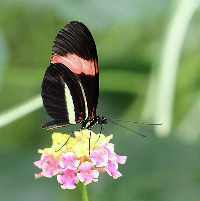 Photograph - Red Postman Butterfly Heliconius Erato Cyrbia by Paul Cowan