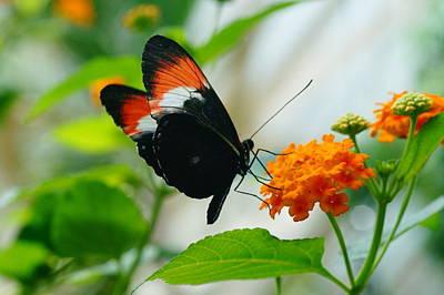 Photograph - Red Postman Butterfly On Orange Flower by Mike Murdock
