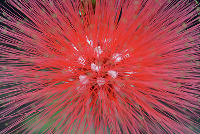 Photograph - Red Powder Puff Close Up by Aimee L Maher Photography and Art Visit ALMGallerydotcom