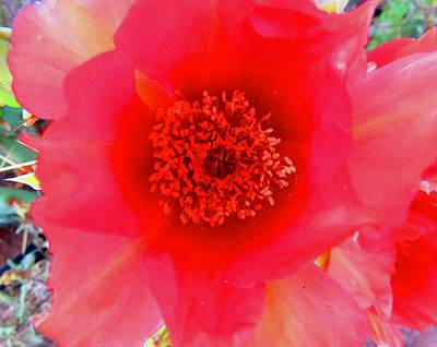 Photograph - Red Prickly Pear Bloom 2 by Judy Kennedy
