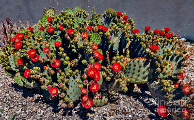 Photograph - Red Prickly Pear Cactus by Robert Bales