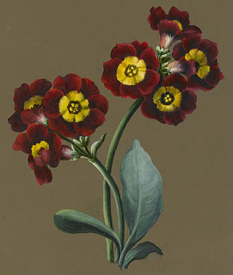 Flowers Watercolor Drawing - Red Primula Auricula by Louise D'Orleans