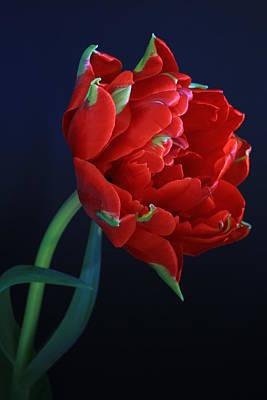 Red Princess Tulip On Blue Art Print