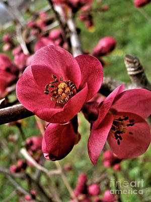 Photograph - Red Quince by Nina Ficur Feenan