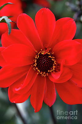 Photograph - Red Red Dahlia by Christiane Schulze Art And Photography