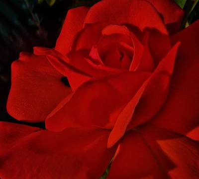 Photograph - Red Red Rose  by Daniele Smith