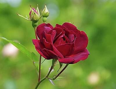 Photograph - Red, Red Rose by Karen McKenzie McAdoo