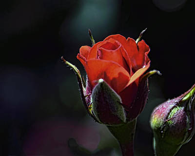 Photograph - Red Red Rose by William Havle